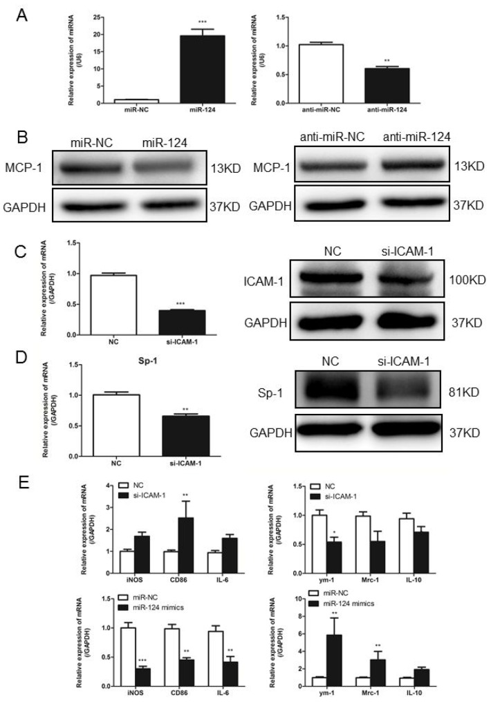 In primary macrophages confirm ICAM-1 regulation of MCP-1 expression via miR124 (A) Real-time qPCR analysis of expression levels of miR-124 in porcine alveolar macrophages (primary macrophages) after transfected with mimic-NC, miR-124 mimics, inhibitor-NC and miR-124 inhibitor. (B) PAM cells were transfected with miR-124 mimic or mimic control, inhibitor-NC or miR-124 inhibitor for 48h, MCP-1 protein levels were measured with Western blotting. (C) In PAM cells transfected with siRNA-ICAM-1, knockdown of ICAM-1 was measured with Western blot. (D) Real-time qPCR and Western blot analysis of the expression of Sp1 after transfection with ICAM-1 siRNA and negative control. (E) The mRNA expressions of M1 and M2 markers in PAM cells transfected with siRNA-ICAM-1 or miR-124 mimics for 24h. ( * p