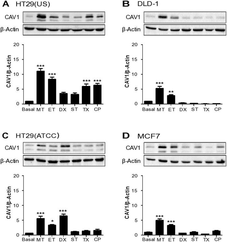 Anti-neoplastic drugs increase CAV1 expression in colon and breast cancer cell lines Colon cancer cells (A) HT29(US), (B) DLD-1, (C) HT29(ATCC) and breast cancer cells (D) MCF-7 were treated with 100 nM Methotrexate (MT), 10 μM Etoposide (ET), 1 μM Doxorubicin (DX), 5 nM Staurosporine (ST), 5 nM Taxol (TX) or 100 nM Cisplatin (CP) for 24 h. Cells were harvested and total protein extracts were separated by SDS-PAGE (50 μg total protein per lane) and analyzed by Western blotting with antibodies against caveolin-1 (CAV1) and β-actin. The graphs show the expression of CAV1 normalized to β-actin (mean ± SEM) of 3 independent experiments. Significant differences in comparison with the untreated condition (Basal) are indicated *** p ≤ 0.001, ** p ≤ 0.01, * p ≤ 0.05 .