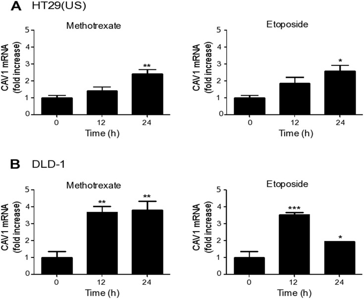 Methotrexate and Etoposide induce an increase in CAV1 mRNA levels in colon cancer cell lines Colon cancer cells (A) HT29(US) and (B) DLD-1 were treated with 100 nM Methotrexate or 10 μM Etoposide for 12 and 24 h. CAV1 mRNA levels were evaluated by quantitative RT-PCR analysis, using β-actin as an internal control. Values obtained by analysis of three independent experiments are shown for CAV1 mRNA following standardization to β-actin (mean ± SEM) and after normalizing to the values obtained for untreated (0 h) samples. Statistically significant differences compared with the controls (time 0) are indicated *** p ≤ 0.001, ** p ≤ 0.01, * p ≤ 0.05.