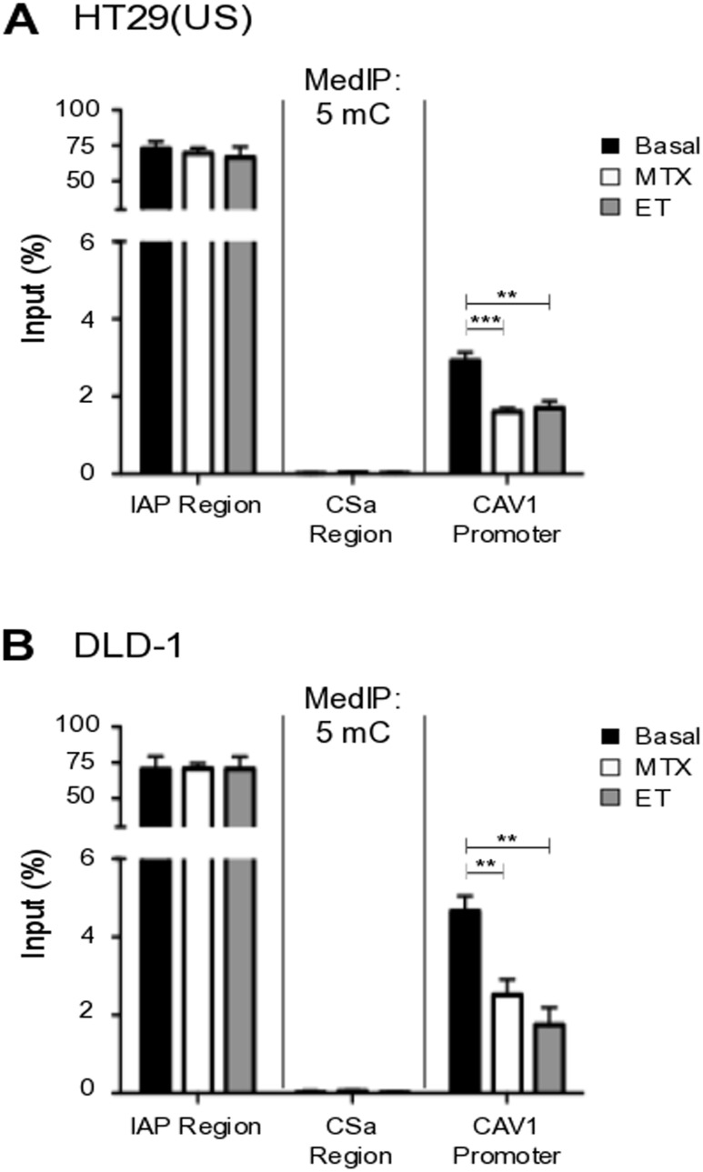 Methotrexate and Etoposide induce CAV1 promoter demethylation in colon cancer cells (A) HT29(US) and (B) DLD-1 colon cancer cells were treated with 100 nM Methotrexate (MT) or 10 μM Etoposide (ET) for 48 h. Genomic DNA (gDNA) was denatured for 10 min at 95°C and then immunoprecipitated using the anti-5-methylcytidine antibody (5mC). Affinity purified DNA was then evaluated using qPCR analysis, defining the enrichment levels as a percentage of the input material. Specific primers were used to analyze the CAV1 proximal promoter (CAV1 promoter) or negative (CSa region) and positive control regions (IAP region). Statistically significant differences compared with the control (Basal, black bars) are indicated *** p ≤ 0.001, ** p ≤ 0.01.