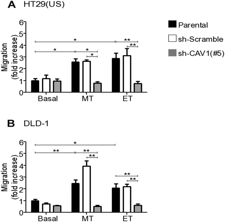 CAV1 silencing precludes the increase in cell migration induced by Methotrexate and Etoposide in colon cancer cell lines Parental, sh-Scramble and sh-CAV1 (#5) (A) HT29(US) or (B) DLD-1 cells (6 x 10 5 ) were seeded in 6 cm plates 24 h before treatment with 100 nM Methotrexate or 10 μM Etoposide for 48 h. Cells (2 x 10 5 ) were then seeded in Boyden chambers coated with fibronectin (2 μg/ml) on the lower side and allowed to migrate for 7 h (HT29(US) cells) or 5 h (DLD1 cells). The cells that migrated through the pores were stained and counted. Values obtained were normalized to those obtained for parental cells without treatment. The graphs show the averages of values from 3 independent experiments (mean ± SEM). Significant differences are indicated ** p ≤ 0.01, * p ≤ 0.05.