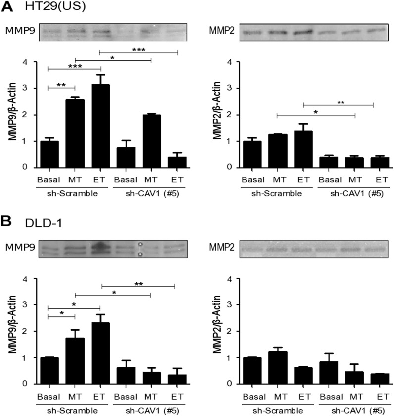 CAV1 silencing decreases metalloproteinase activity induced by Methotrexate and Etoposide in colon cancer cell lines sh-Scramble and sh-CAV1 (#5) (A) HT29(US) or (B) DLD1 cells (6 X 10 5 ) were seeded in 6 cm plates 24 h before treatment with 100 nM Methotrexate or 10 μM Etoposide for 48 h. Cells were harvested and total protein extracts were subjected to gelatin zymography. The graphs show the densitometric analysis of gelatinolytic activity detected at 92 kDa (pro-MMP9) and 72 kDa (pro-MMP2) averaged from 3 independent experiments (mean ± SEM). Significant differences are indicated, *** p ≤ 0.001, ** p ≤ 0.01, * p ≤ 0.05.