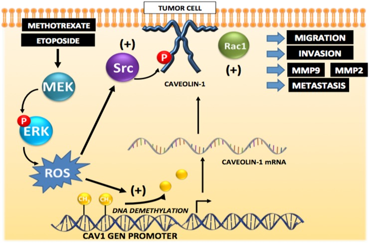 Working model summarizing the main findings described in this study identifying the mechanisms by which cytotoxic drugs induce CAV1 expression Initially, CAV1 expression is repressed by methylation in the gene promoter region in tumor cells. Exposure to the anti-neoplastic drugs Methotrexate or Etoposide induces promoter demethylation that increases transcription and expression of CAV1 that is is mediated by ERK activation and ROS production. Likewise, ROS are shown to promote Src family kinase-dependent CAV1 phosphorylation that may lead to Rac1 and metalloproteinase activation, as well as increased migration, invasion and metastasis.