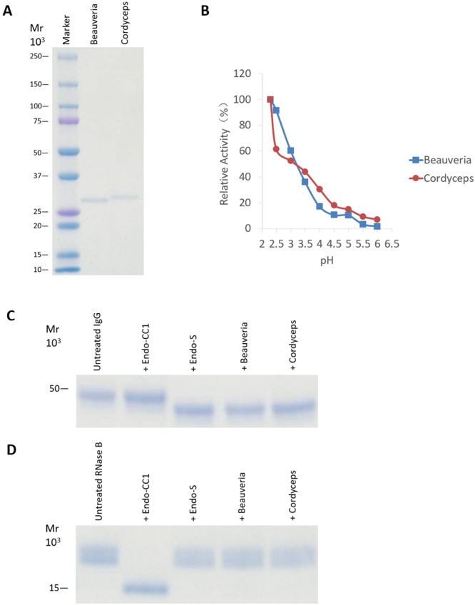 Characterization of Beauveria and Cordyceps ENGases. ( A ) Recombinant Beauveria and Cordyceps ENGases were expressed in E. coli and were purified. Protein samples (0.5 μg of each) were then subjected to SDS-PAGE using a 5–20% acrylamide gel, following which the gel was stained with CBB. ( B ) Effects of pH on the enzymatic activity of Beauveria and Cordyceps ENGases. The assay was carried out using 100 mM buffers at various pHs. ( C ) Rituximab (IgG) was incubated separately with Endo-S, Endo-CC1, recombinant Beauveria ENGase and recombinant Cordyceps ENGase overnight and subsequently analyzed by SDS-PAGE. The CBB stained gel shows the heavy chain of IgG is migrating as a protein with MW of approximately 50 kDa. ( D ) RNase B was incubated separately with Endo-S, Endo-CC1, recombinant Beauveria ENGase and recombinant Cordyceps ENGase overnight and subsequently analyzed by SDS-PAGE.