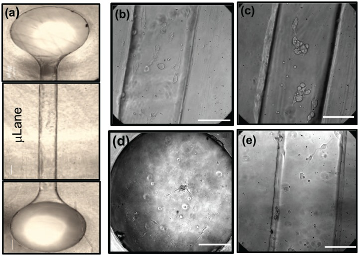 Displacement of adhered retinal progenitor cells (RPCs) within the µLane microfluidic system. Images describing attachment of RPC cells and/or neuroclusters within (a) µLane systems whose inner surfaces were functionalized with (b) fibronectin (FN), (c) laminin (LM), (d) hyaluronic acid (HA), and (e) Matrigel (MG). Scale bar = 75 µm.