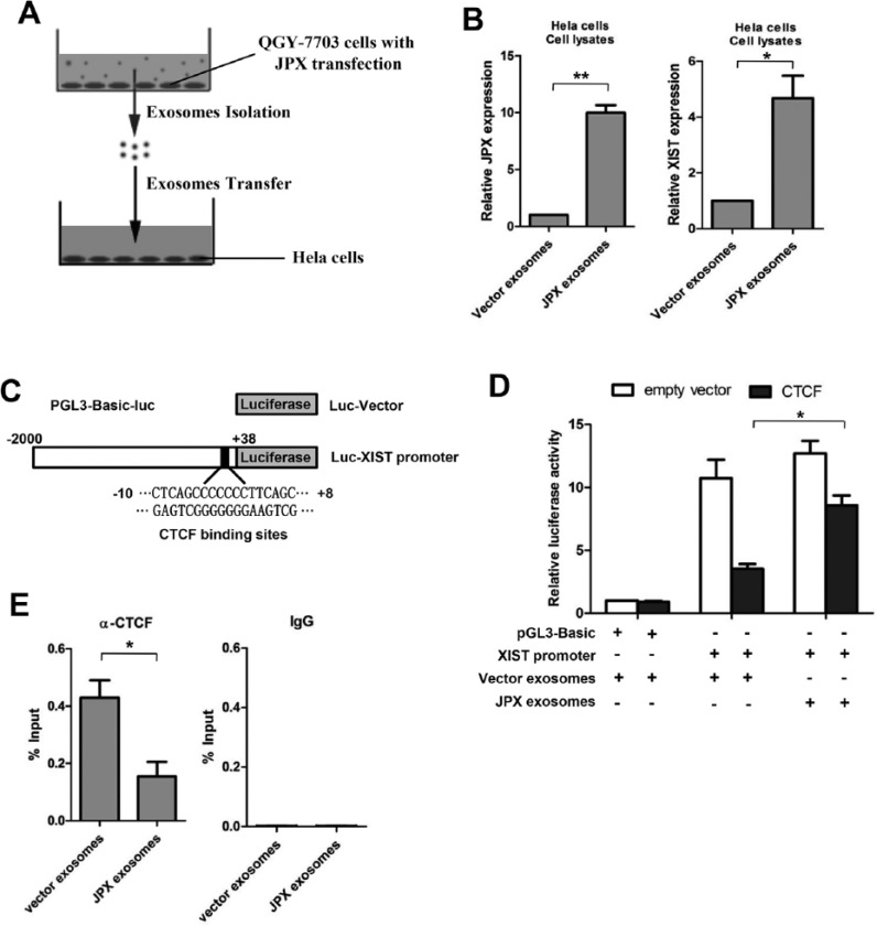 Effects of exosomal Jpx on X-inactive-specific transcript expression by evicting CTCF. (A) Diagram of coculture between Hela cells and exosomes from QGY-7703 cells transfected with Jpx expression plasmid or empty vector. (B) Relative Jpx and X-inactive-specific transcript (Xist) expressions in Hela cells treated with exosomes from QGY-7703 cells transfected with Jpx expression plasmid or empty vector. (C) Luciferase reporter plasmids containing Xist promoter with CTCF binding sites were constructed. (D) Relative luciferase activities were analyzed after reporter plasmid and CTCF expression plasmid were transfected into Hela cells treated with the corresponding exosomes. (E) Chromatin immunoprecipitation (ChIP) quantitative polymerase chain reaction (qPCR) analysis was used to evaluate the effects of exosomal Jpx on CTCF binding at the Xist promoter. CTCF antibody (left) and normal rabbit immunoglobulin G (IgG) (right) were used. The data were normalized to the value of qPCR for Xist promoter amplification of Input DNA from the same cells. * p