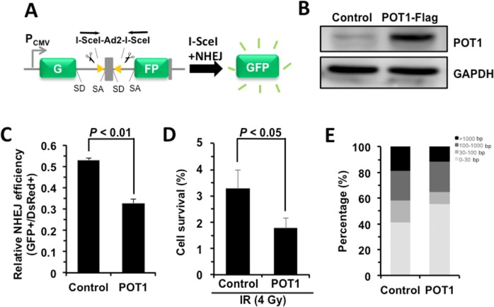 POT1 promotes NHEJ fidelity but inhibits NHEJ efficiency ( A ) Schematic picture of NHEJ reporter cassette. The reporter and the cell line harboring it are as previously described [ 7 , 24 ]. ( B ) Expression of FLAG-tagged POT1. ( C ) The effect of POT1 overexpression on NHEJ efficiency. The NHEJ-I9a was transfected with POT1 vector, I-SceI vector and DsRed for normalizing transfection efficiency using Lonza 4D machine. On day 3 post transfection, cells were harvested for FACS analysis. ( D ) Overexpressing POT1 sensitizes HCA2-hTERT cells to X-Ray. POT1 overexpressing cells were treated with X-Ray at 4 Gy, and then harvested, reseeded to plates at different numbers. On day 14 post IR, cells were stained with Commassie solution and colonies with at least 50 cells were counted. Cell survival was calculated as the ratio of the relative plating efficiencies of X-Ray treated versus control cells. ( E ) Analysis of NHEJ fidelity. The method is as previously reported [ 25 ]. At least forty clones were used for junction sequencing. bp: base pairs.