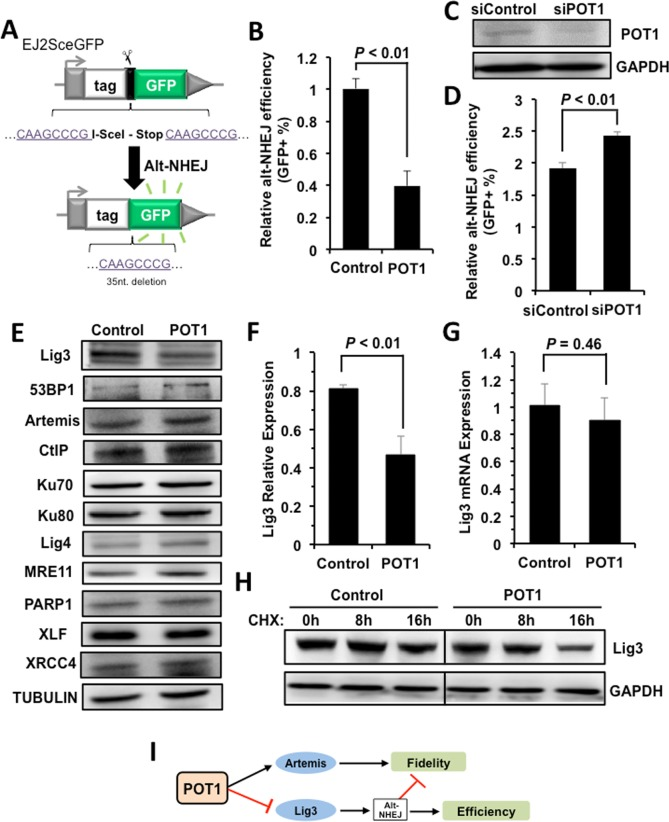 POT1 inhibits alt-NHEJ efficiency and promotes the degradation of Lig3 ( A ) Schematic diagram of EJ2-GFP for analyzing the alt-NHEJ efficiency. The mechanism of the reporter cassette is as previously described [ 6 ]. ( B ) Overexpression of POT1 inhibits alt-NHEJ efficiency. The reporter construct was digested with I-SceI restriction enzyme in vitro , followed by being transfected to HCA2-hTERT cells together with a control vector or a plasmid encoding POT1. On day 3 post transfection, cells were harvested for FACS analysis. ( C ) and ( D ) Mildly knocking down POT1 in HeLa cells significantly stimulates the alt-NHEJ efficiency. HeLa cells were transfected with siRNA against POT1 twice with two days interval, followed by a transfection of I-SceI linearized EJ2-GFP reporter. On day 3 post transfection, cells were harvested for FACS analysis. ( E ) Expression of important NHEJ factors in the absence or presence of POT1 overexpression. ( F ) Quantification of Lig3 expression using ImageJ software. The relative expression of Lig3 is calculated as the ratio of Lig3 expression versus TUBULIN. ( G ) Lig3 expression was not affected at transcriptional level in POT1 overexpressing cells. At 24 h post POT1 transfection, cells were harvested for mRNA extraction. Then Quantitative PCR analysis was performed with primers indicated. The primers used for q-PCR of Lig3 are as follows: Forward: 5′- TATGGCACGGGACCTAG -3′, Reverse: 5′- CTGTTGCTGCTCATCCTC -3′. The primers used for q-PCR of GAPDH are as follows: Forward: 5′ATGACATCAAGAAGGTGGTG3′, Reverse: 5′CATACCAGGAAATGAGCTTG3′. The transcript level of Lig3 was determined using delta CT method [ 38 ]. ( H ) POT1 overexpression promotes Lig3 degradation. 293FT cells with a control vector or a vector encoding POT1 transfected were treated with cycloheximide (CHX) at 50 μg/ml. At different time points post the treatment, cells were harvested for Western blot analysis. ( I ) The model of POT1 regulating DNA DSB repair at non-telomeric re