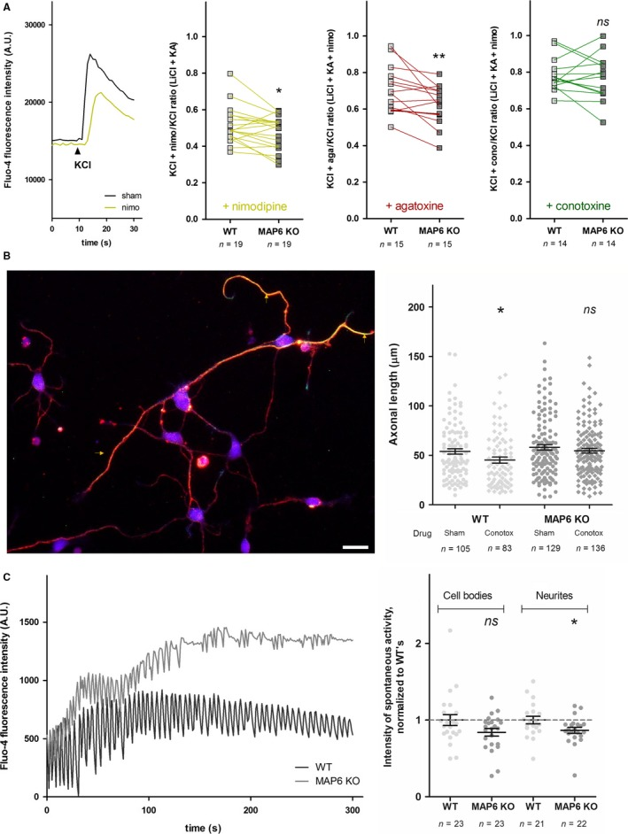 Specificity of Ca v 2‐type calcium channels deficit in MAP6 KO neurons. (A) Left panel, examples of KCl‐stimulated fluo‐4‐loaded WT cortical neurons in the absence (black line) or presence (yellow line) of 20 μ m nimodipine. Right panels, ratios of KCl‐elicited fluorescence intensity peaks, recorded from WT (white squares) and MAP6 KO (grey squares) cortical neurons in the presence or absence of 20 μ m nimodipine (yellow curves), 180 n m ω‐agatoxin IVA (red curves) or 320 n m ω‐conotoxin GVIA (green curves). n represents the total number of wells recorded from eight independent neuronal cultures. ns, P > 0.05, *, P