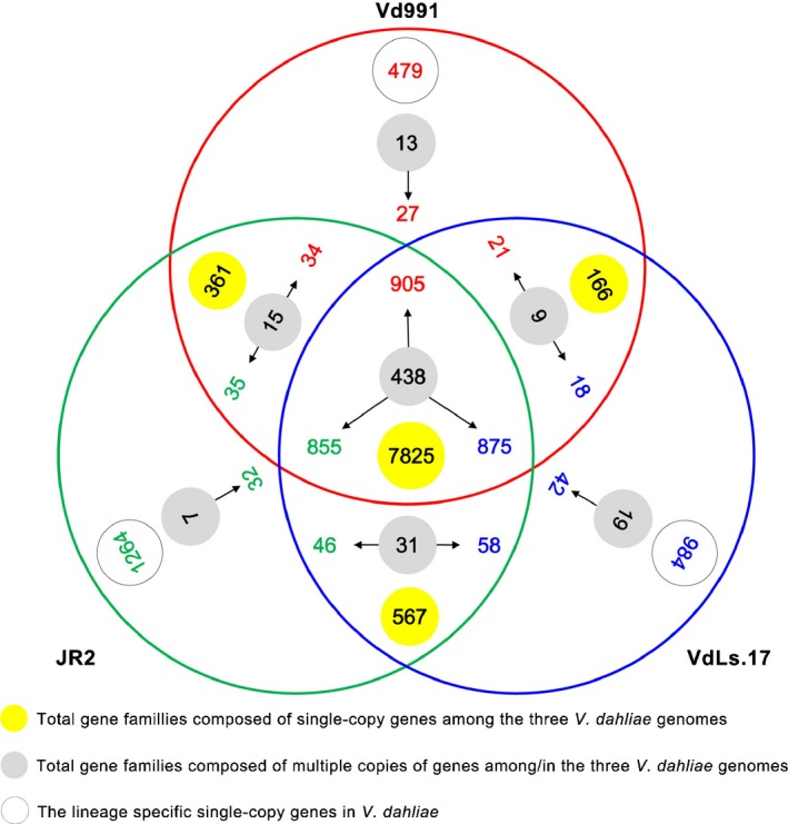 Ortholog gene clusters among the three Verticillium dahliae Vd991, JR 2 and VdLs.17 genomes. The numbers in solid yellow circles represent the total gene families composed of single‐copy genes among the three V. dahliae genomes; the numbers in solid gray circles represent the total gene families composed of multiple copies of genes in the three V. dahliae genomes. Red, green and blue correspond to Vd991, JR 2 and VdLs.17, respectively; the numbers in open gray circles represent the specific single‐copy genes in the Vd991, JR 2 and VdLs.17 genomes.