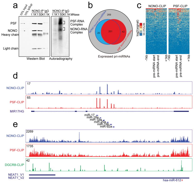 Genome-wide analysis of NONO-PSF-RNA interactions ( a ) Immunoprecipitated NONO-PSF crosslinked to RNA. The complex was treated with two different concentrations of MNase (1:1,000 or 1:50,000 dilution); RNA in the complex was 32 p-labeled with T4 polynucleotide kinase. Proteins and RNA were visualized by Western blotting (left) and autoradiography (right). Indicated bands (right) were individually isolated for CLIP-seq library construction. ( b ) Venn Diagram showing overlapped pri-miRNAs bound by NONO and PSF in HeLa cells. ( c ) Footprint of NONO and PSF on pri-miRNAs. ( d ) Representative NONO and PSF binding tracks on the pri-miR-17–92a transcript. ( e ) The binding profiles of NONO and PSF on NEAT1 in comparison with the published DGCR8 CLIP-seq signals 44 . Y-axis in d and e shows CLIP-seq read density in each case. The region encoding for miR-612 is indicated at bottom. Uncropped images of Western blots and autoradiography in a are shown in Supplementary Data Set 1 .
