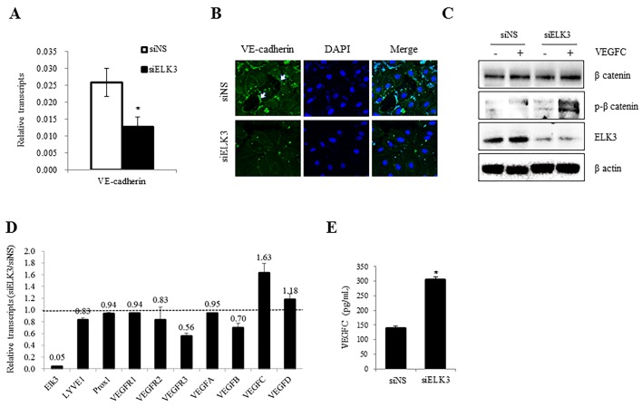 ELK3 regulates the expression of VE-cadherin and VEGFR-3, and the phosphorylation of β-catenin. (A) VE-cadherin expression in LEC transfected with siELK3 and siNS for 48 h was evaluated using RT-qPCR. (B) VE-cadherin expression was detected by immunocytochemical staining in LEC transfected with siELK3 or siNS for 24 h. Arrows indicates VE-cadherin staining. (C) Accumulation of phosphorylated β-catenin was analyzed using western blot analysis. LEC were transfected with siNS or siELK3 for 24 h and untreated or stimulated with VEGF-C for 30 min. (D) The effect of ELK3 knockdown on the expression of the indicated genes was evaluated using real-time RT-qPCR. LEC were transfected with siELK3 for 24 h and the expression of each gene is presented relative to the levels in control (siNS) cells (siELK3/siNS). (E) The quantity of VEGF-C was determined using ELISA. ELK3, E26 transformation-specific domain-containing protein Elk-3; siNS, small interfering RNA non-specific control; siELK3, small interfering RNA ELK3; VE-cadherin, vascular endothelial-cadherin; LEC, lymphatic endothelial cells; VEGF-C, vascular endothelial growth factor C; RT-qPCR, reverse transcription quantitative polymerase chain reaction.