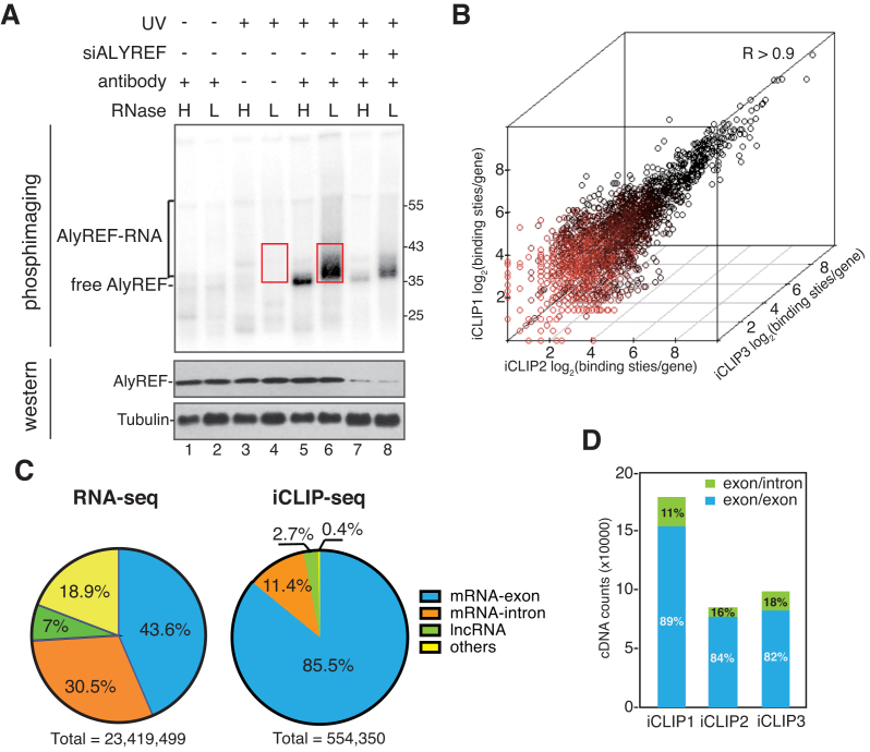ALYREF binding sites are enriched on exons of mature mRNAs. ( A ) Detection of ALYREF-RNA complexes. RNase I treated (H: 5 U/ml; L: 0.5 U/ml) and 32 P-labeled RNP complexes were immunoprecipitated with or without the ALYREF antibody from normal and ALYREF knockdown cells. After size-separation using denaturing gel electrophoresis, ALYREF-RNA complexes were transferred to a nitrocellulose membrane. The upper panel shows the autoradiograph of the nitrocellulose membrane. The lower panel shows the western blotting result using the indicated antibodies for input of IP. Red box indicates the region that was extracted for subsequent analyses. ( B ) Correlation of ALYREF iCLIP-seq replicates. Clustered ALYREF binding sites in each gene are plotted for three independent biological replicates (Spearman correlation coefficient, R > 0.90 for all comparisons). ( C ) ALYREF binding sites are enriched at mRNA exon. Left pie chart shows the percentage of RNA-seq reads that uniquely mapped to four human genome regions: mRNA exons, mRNA-introns, lncRNAs or others. Right pie chart shows the percentage of clustered ALYREF binding sites mapped to different human genome regions. ( D ) ALYREF mainly binds mature mRNAs. Percentages of the iCLIP tag in ALYREF binding sites specifically mapped to the exon-exon junction (blue) or exon-intron junction (green).