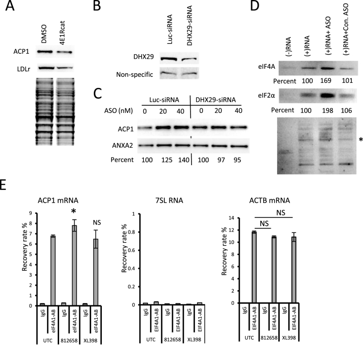 The ACP1 ASO enhances binding of translation initiation factors to ACP1 mRNA. ( A ) Western analyses of ACP1 and LDLR proteins in HeLa cells treated for 30 h with 15 μM 4E1Rcat. The lower panel shows a Coomassie-blue stained image from a duplicate gel, which serves as control to ensure equal loading. ( B ) Western analysis for DHX29 in HEK293 cells treated with 3 nM siRNAs targeting DHX29 or luc for 24 h. ( C ) Western analysis for ACP1 protein in HEK293 cells treated with DHX29 or luc siRNAs for 24 h, followed by transfection of ASO812653 for an additional 10 h. ANXA2 served as a loading control. The percentages of ACP1 protein relative to mock treated cells (ASO concentration 0) are shown below the lanes. ( D ) Western analyses for eIF4A (upper panel) and eIF2a (middle panel) proteins co-isolated with a 3′-biotinylated, 5′-capped RNA derived from the 5′ UTR of human ACP1 mRNA in the presence of ASO812658, control ASO XL398, or no ASO. The same membrane was re-probed using rabbit serum to detect non-specific band that served as loading control (lower panel, indicated by an asterisk). Percentages relative to samples with no ASO are given. ( E ) qRT-PCR quantification of ACP1 mRNA (left panel), 7SL RNA (middle panel), and ACTB mRNA (right panel) co-immunoprecipitated using an anti-eIF4A antibody or a control IgG from cells transfected with indicated ASOs or mock-transfected cells (UTC). Plotted are means ± standard deviations from three experiments. P -values were calculated based on unpaired t -test. NS, not significant. * P