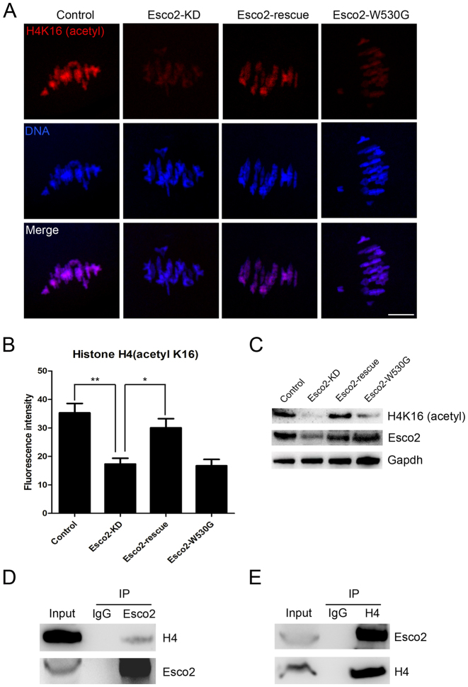 Esco2 binds to histone H4 to regulate the acetylation level of H4K16. ( A ) Representative images of acetylated H4K16 in control, Esco2-KD, Esco2-rescue and Esco2-W530G oocytes. Scale bar, 5 μm. ( B ) The immunofluorescence intensity of acetylated H4K16 was recorded in control, Esco2-KD, Esco2-rescue and Esco2-W530G oocytes. Data were presented as mean percentage (mean ± SEM) of at least three independent experiments. Asterisk denotes statistical difference at a P