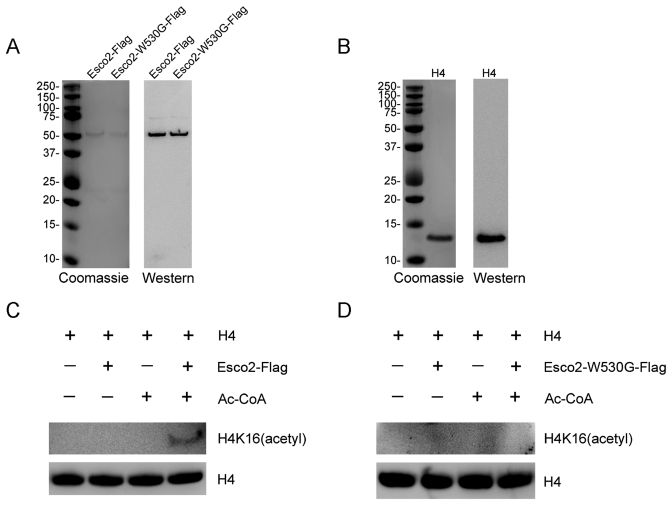 Esco2 acetylates histone H4 at Lys16 in vitro . ( A ) Flag purification of Esco2. Esco2 and enzymatically mutant Esco2-W530G were expressed in HEK293 cells and then purified according to the Flag purification procedure. Purified Esco2-Flag and Esco2-W530G-Flag were detected with sodium dodecyl sulphate-polyacrylamide gel electrophoresis followed by both coomassie staining and western blotting with anti-Esco2 antibody. ( B ) Commercially obtained recombinant histone H4 was identified by both coomassie staining and western blotting with anti-H4 antibody. ( C ) In vitro acetylation assay with Esco2-Flag. Recombinant histone H4 was incubated with or without purified Esco2-Flag and Ac-CoA in the acetyltransferase assay buffer at 30°C for 1 h. The reactions were analyzed by western blotting with anti-histone H4 (acetyl K16) antibody for acetylation levels of H4K16 and anti-histone H4 antibody as a loading control. ( D ) In vitro acetylation assay with Esco2-W530G-Flag. Recombinant histone H4 was incubated with or without purified Esco2-W530G-Flag and Ac-CoA in the acetyltransferase assay buffer at 30°C for 1 h. The reactions were analyzed by western blotting with anti-histone H4 (acetyl K16) antibody for acetylation levels of H4K16 and anti-histone H4 antibody as a loading control.