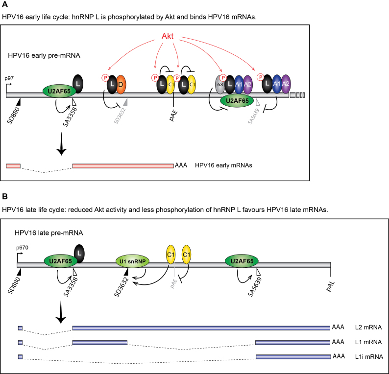 Model for the control of HPV16 late gene expression by Akt-kinase regulated RNA binding hnRNP-proteins. ( A ) At efficiently used HPV16 3′-splice site SA3358, hnRNP L (L) binds primarily downstream of the splice site in the exonic sequences and does not interfere with U2AF65/35 binding upstream of SA3358. This binding pattern suggest that hnRNP L does not inhibit SA3358, and is consistent with a positive role for hnRNP L on SA3358. At the same time, hnRNP L binds to splicing inhibitory sequences upstream of SD3632, adjacent to hnRNP D (D) binding sites that have been shown previously to suppress SD3632, which suggest a splicing inhibitory role for hnRNP L at SD3632. In addition, hnRNP L is pulled down by oligos that also bind to hnRNP C (C1) in the HPV16 early UTR, and hnRNP L interacts with hnRNP C. We suggest a model in which Akt-phosphorylated hnRNP L binds at HPV16 SA3358, SD3632 and pAE and that this prevents utilisation of HPV16 late 5′-splice site SD3632 and favour utilisation of HPV16 3′-splice site SA3358 and the HPV16 early polyadenylation signal pAE. At the other suppressed HPV16 late splice site SA5639, hnRNP L binds at both upstream and downstream sequences. The interactions of Sam68 ( 68 ), hnRNP A1 (A1), hnRNP A2 (A2) and hnRNP L (L) with sequences at HPV16 SA5639 is consistent with an inhibitory function of these proteins on splicing, most likely by inhibiting binding of U2AF65 at SA5639. This scenario represents the early state of the HPV16 life cycle. ( B ) As the HPV16 infected cells differentiate and Akt kinase activity is reduced, hnRNP L is dephosphorylated and binding to HPV16 mRNAs is reduced. We suggest a model for activation of HPV16 late gene expression in which interactions between hnRNP L and splicing silencer sequences at SD3632, the early UTR and with the hnRNP C are reduced or lost. Inhibition of Akt kinase dephosphorylates hnRNP L, thereby freeing hnRNP C at the early UTR, allowing it to interfere with hnRNP D at SD3632, which result