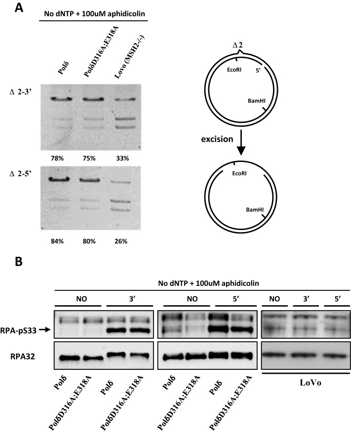 Mismatch-provoked excision in HeLa cells expressing PolδD316A;E318A. (A) Mismatch provoked excision assay was performed as described in Materials and Methods using the nuclear extracts indicated. The extent of DNA excision was estimated by measuring susceptibility/resistance to cleavage by Eco RI, whose recognition sequence lies in between the DNA excision initiation site and the mismatch (schematic diagram right). Reaction products were digested with Eco RI and Bam HI, separated by agarose gel electrophoresis and visualized by staining with ethidium bromide. The intensity of each band was quantified using ImageJ, and the relative excision capacity was calculated as the intensity of the slowest migrating (largest) reaction product per lane /total intensity per lane × 100. Nuclear extracts from MSH2-deficient LoVo cells were used as the negative control. (B) Western blot of pS 33 -RPA32 was performed to monitor amount of ssDNA generated during in vitro MMR. Briefly, MMR assay was performed as described in Materials and Methods with no substrate (NO), Δ2–3′ (3′) or Δ2–5′ (5′) substrate in the reaction. The MMR was terminated by adding SDS containing loading buffer and boiling at 95°C for 10 min. Western blot was performed as described in Materials and Methods. Aphidicolin was included and dNTPs were omitted as indicated for inhibition of polymerase synthesis of Polδ. The total RPA32 was used as control.
