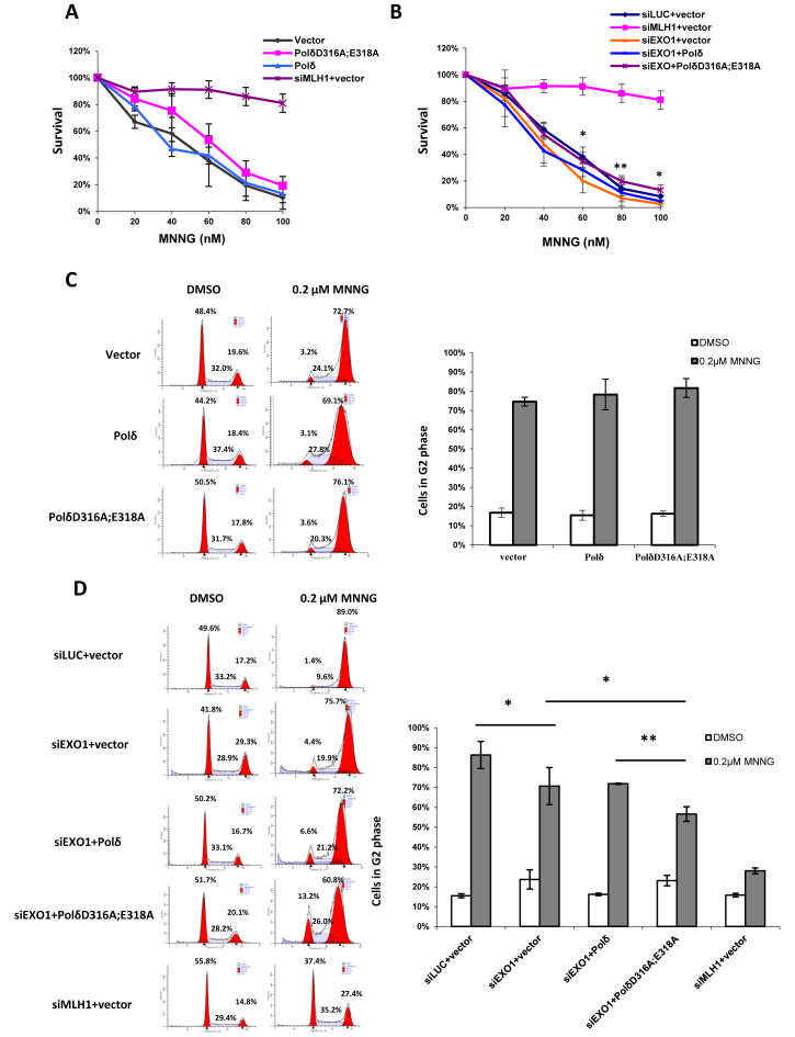 Effect of PolδD316A;E318A on susceptibility to killing by MNNG. ( A and B) HeLa cells were transfected and seeded as described in Materials and Methods. After one day, cells were treated with 10 μM O 6 -Benzylguanine and MNNG at the concentration indicated. Colonies were counted after 8 days after crystal violet staining. The percentage of survival for each drug concentration was calculated as number of colonies after MNNG treatment / number of colonies without MNNG treatment. The asterisk above the error bar indicates the P value between group siEXO1+Polδ and group siEXO1+PolδD316A;E318A. ( C and D ) Cells were seeded into T 75 flasks one day after transfection. After 24 hours, cells were treated with 10 μM O 6 -Benzylguanine and 0.2 μM MNNG and incubated for another two days before subject to FACS analysis. The data represent the mean ± SD of three independent experiments. * P ≤ 0.05.