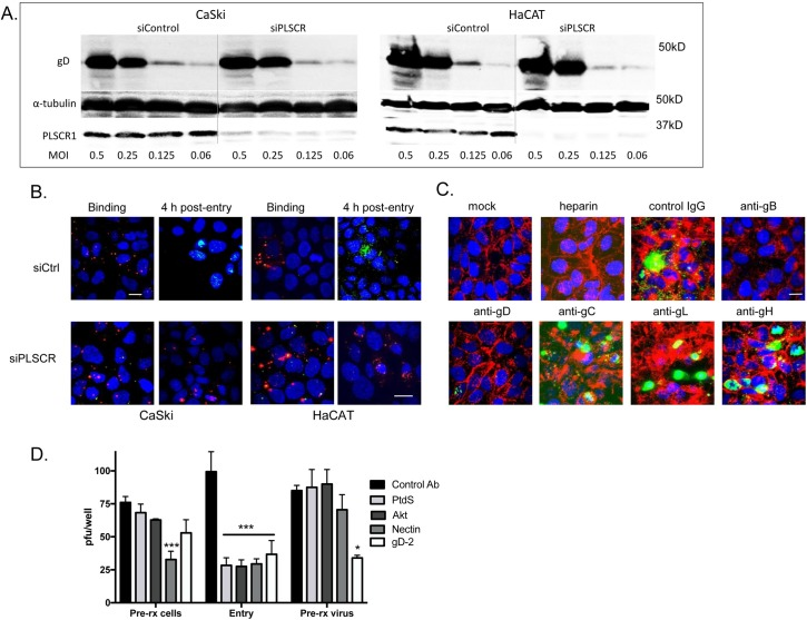 Viral binding to heparan sulfate and gD-nectin engagement precede and are required for activation of phospholipid scramblase. (A). CaSki or HaCATcells were transfected with siControl or siPLSCR1 and 72 h later were exposed to indicated multiplicities of infection (MOI) of HSV-2(G) for 4 hours at 4°C. The cells were then washed extensively and Western blots of cell lysates were probed with a mAb to gD as a marker of cell-bound virus, mAb for α-tubulin as a control for cell loading and rabbit anti-PLSCR1 as a probe for silencing. The blot is representative of results obtained in 2 independent experiments. (B). CaSki or HaCAT cells were transfected with control (Ctrl) or PLSCR1 siRNA and then infected with envelope-labeled (red) HSV-1VP26GFP (MOI 5 pfu/cell) for 4 hours at 4°C to detect binding or incubated for an additional 4 h at 37°C to detect viral entry. Results are representative of 2 independent experiments; bar = 10μm. (C). HSV-2(G) (~MOI 5 pfu/cell) was mixed with 100 μg/ml heparin or with 1:100 dilution of mAbs to HSV-2 glycoproteins gB, gD, gC, gL, or gH or control mouse IgG and then applied to CaSki cells that had been prestained with Alexa Fluor 594-conjugated wheat germ agglutinin to detect plasma membranes (red). After a 30-minute incubation, the cells were then washed, fixed and stained without permeabilization. Nuclei were stained blue with Hoechst and phosphatidylserines green with a primary murine and secondary Alexa 488-conjugated secondary antibody. Mock-infected cells are included as a control. Images are representative of results obtained from 3 independent experiments. (D). CaSki cells or HSV-2(G) (calculated to yield ~100 pfu/well) were pretreated (pre-rx) with antibodies to phosphatidylserine (PtdS), gD, Akt, nectin or control mouse IgG for 1 h and then washed 3 times (cells) or diluted 1:100 (virus-antibody mixture). Alternatively, the antibodies were added to cells at the time of viral infection for 1 h (entry). Cells were washed after the 1