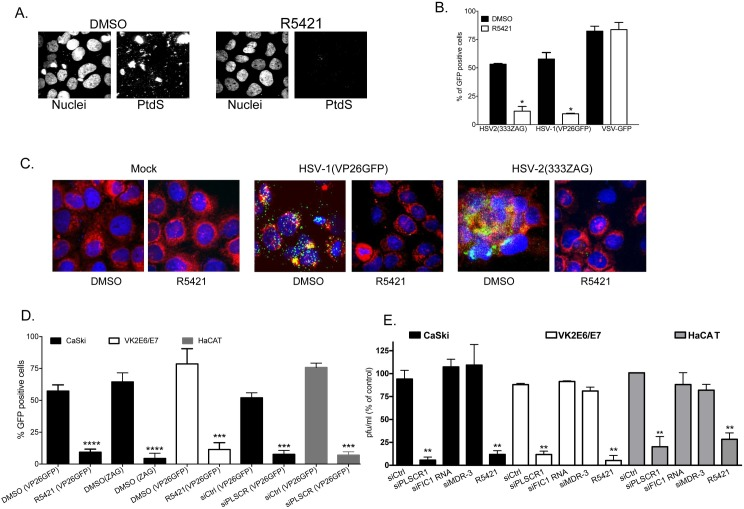Phospholipid scramblase blockade reduces HSV entry and viral plaque formation: (A) CaSki cells were pretreated with 0.5% DMSO or 5 μM R5421 for 15 minutes and then infected at 37° with HSV-2(G) (10 pfu/cell) for 30 minutes. Cells were fixed and stained with fluorescently-conjugated antibodies to PtdS; nuclei were stained with DAPI. Representative images from 2 independent experiments are shown. (B) Vk2E6/E7 (HSV) or Vero (VSV) cells were pretreated with R5421 or DMSO control as in (A) and infected with HSV-2(333ZAG), HSV-1(VP26GFP) or VSV-GFP (0.1 pfu/cell). The percentage of GFP-positive cells was quantified 16 h post-infection by counting 400–500 cells in total from 4 random fields in 2 independent experiments. Results are presented as mean + SEM and the asterisks indicate p
