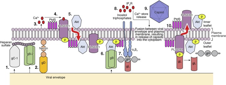 Model of phospholipid scramblase activation during HSV entry. Binding of HSV-1 glycoprotein C or HSV-2 glycoprotein B (Step 1) and engagement of nectin-1 by glycoprotein D (Step 2) trigger the release of a small amount of calcium near the plasma membrane (Step 3) that is sufficient to activate (phosphorylate) phospholipid scramblase (Step 4). This results in flipping of phosphatidylserines (PtdS) from the inner to the outer leaflet of the plasma membrane, which results in externalization of Akt and possibly other inner plasma membrane- associated proteins (Step 5). Akt interacts with gB, which may promote a conformational change in Akt that facilitates its phosphorylation at threonine 308 and serine 473 by yet to be determined kinases (Step 6). Integrinαvβ3 binds to gH (Step 7), and activated Akt and integrin transfer signals to the cell cytoplasm that lead to the generation of inositol triphosphates and release of inositol-triphosphate receptor (IP3R)-regulated Ca 2+ stores (Step 8) culminating in fusion of the viral envelope and plasma membrane and entry of viral capsids (Step 9). PtdS flip back to the inner leaflet of the plasma membrane to restore normal membrane asymmetry in a process that may occur in response to viral entry and may be regulated by gL binding to PLSCR1 and subsequent shift to primarily dephosphorylated PLSCR1. (Step 10).