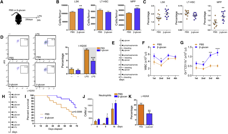 Training with β-Glucan Promotes a Beneficial Response to a Secondary Challenge (A) WT mice were injected with β-glucan or PBS, and after 28 days, they received a secondary challenge with LPS. (B and C) LSK, MPP, and LT-HSC cell numbers (B) and frequency of the same cells in total BM cells (C) at 24 hr after LPS injection (n = 10 mice per group). (D) Representative FACS plots and frequency of γ-H2AX-positive LT-HSCs at 24 hr after LPS injection (n = 10 mice per group, right plots and gray background). The frequency of γ-H2AX-positive LT-HSCs at 28 days after β-glucan administration in mice not injected with LPS (—) is also shown; ns = 4 and 5, left plots and white background. (E) Experimental protocol for the effect of β-glucan on the recovery of granulopoiesis after cyclophosphamide administration (4 rounds). (F and G) Total white blood cell (WBC) (F) and granulocyte (Gr1 + CD11b + ) (G) counts in the peripheral blood (n = 10 mice per group). (H) Experimental protocol for 5-FU administration. (I) Survival curves of 5-FU-treated mice treated with β-glucan or PBS control (n = 16 mice per group). Comparison of survival curves was performed by log-rank (Mantel-Cox) test, and p value is shown. (J and K) Mice were injected with β-glucan or PBS, and 7 days later, a single dose of 5-FU was administered. (J) Neutrophil numbers in peripheral blood at different time points after the administration of 5-FU (n = 5 mice per group). (K) Frequency of γ-H2AX-positive LT-HSCs 14 days after 5-FU administration (n = 10 mice per group). Data are presented as mean ± SEM. ∗ p