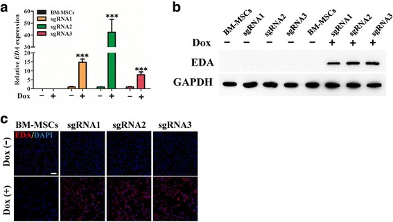 dCas9-E mediated activation of EDA in BM-MSCs. The cells were harvested and total mRNA and protein were extracted. Ectodysplasin (EDA) gene and protein expression were identified by qPCR ( a ) and Western blotting ( b ) after doxycycline (Dox) induction for 48 h. c Fluorescence microscopy detection of EDA expression activated by dCas9-E. After supplementing with 2 μg/ml Dox for 48 h, enhanced expression of EDA (red) was detected in dCas9-E transfected bone marrow-derived mesenchymal stem cells (BM-MSCs). The data are expressed as the mean ± SD. *** p