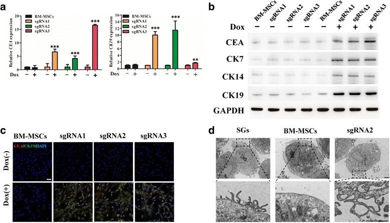 Characteristics of dCas9-E BM-MSCs after Dox induction. a The sweat gland markers, carcinoembryonic antigen (CEA) and cytokeratin (CK)19, were detected by qRT-PCR after bone marrow-derived mesenchymal stem cells (BM-MSCs) were transfected with dCas9-E and incubated with doxycycline (Dox; 2 μg/ml) for 48 h. b Proteins were collected from BM-MSCs transfected with dCas9-E. The sweat glands biomarkers CEA, CK7, CK14, and CK19 were detected by Western blotting using glyceraldehyde-3-phosphate dehydrogenase (GAPDH) for calibration of sample loading. c Immunofluorescence staining was used to detect CEA (red) and CK19 (green) in BM-MSCs (scale bar = 50 μm). d Villi ultrastructure changes after dCas9-E BM-MSCs were treated with Dox (scale bar = 1 μm). ** p
