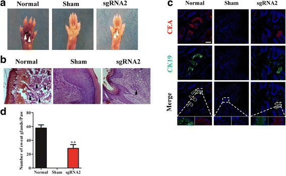 The effect of dCas9-E BM-MSCs on the regeneration of sweat glands in vivo. a The saline-treated paw (Sham) showed a negative result for the perspiration test, whereas paws implanted with Dox-induced dCas9-E BM-MSCs showed a positive result (sgRNA2). b Hematoxylin and eosin staining was used to detect the duct structure of sweat gland tissue after injection with Dox-induced dCas9-E BM-MSCs. c The expression of carcinoembryonic antigen (CEA; red), cytokeratin 19 (CK19; green) and nucleus (DAPI) in BM-MSCs after implantation for 20 days. d The quantification of each paw (0.5 cm × 0.5 cm, treated with collagenase I for 1 h at 37 °C) was also conducted after treatment with Dox-induced dCas9-E BM-MSCs. ** p