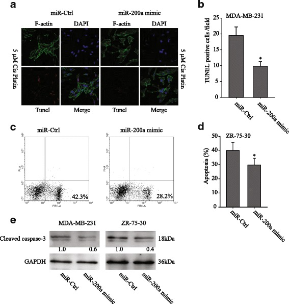 miR-200a promoted chemoresistance in breast cancer cell lines. a MDA-MB-231 cells that had been transfected with the miR-200a mimic or the miR-Ctrl were treated with 5 μM cis-platin and stained with TUNEL-TMR red, phalloidin-FITC for actin and DAPI for the cell nucleus. b The confocal TUNEL analysis showed that the miR-200a-transfected MDA-MB-231 cells had lower levels of apoptosis than the miR-Ctrl-transfected MDA-MB-231 cells. c Apoptosis was evaluated in ZR-75-30 cells after treating with cis-platin and staining with Annexin-V at 48 h. The flow cytometry profile depicts Annexin-V-FITC staining on the x -axis and PI staining on the y -axis. The number represents the percentage of early apoptotic cells in each condition, and ( d ) Mean ± SEM of apoptotic cells from three different experiments. e After cis-platin treatment, the transfected cells were lysed for western blotting. The protein levels of cleaved caspase-3 were normalized to GAPDH