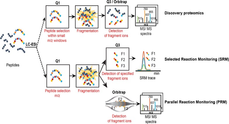 Principles of discovery and targeted proteomics approaches. Major steps of discovery and targeted mass spectrometry analyses are schematized. Discovery proteomics (top panel) characterizes the global composition of a protein sample. With the <t>quadrupole-orbitrap</t> technology, peptide ions within a small window of mass-to-charge (m/z) ratio are isolated in the first quadrupole (Q1) and then fragmented in a collision cell; all ion fragments are finally monitored in the orbitrap analyzer. The processing of resulting MS/MS spectra allows identifying the proteins initially present in the samples (not shown). Targeted proteomics (bottom panel) precisely quantifies a predefined set of proteins. The SRM methodology first selects peptide ions representative of the proteins of interest in the first quadrupole (Q1); they are fragmented in the second quadrupole (Q2); finally, predefined representative ion fragments (F1, F2 and F3) are recorded in the last quadrupole (Q3). The reconstitution of each peptide elution profile, named SRM trace, allows for the integration and quantification of its abundance. The PRM methodology is similar to the SRM pipeline but the last quantification step is not restricted to a predefined set of fragment ions and can consider all of them, recorded in the Orbitrap analyzer