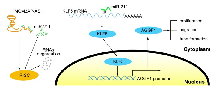 The schematic cartoon of the mechanism of MCM3AP-AS1/miR-211/KLF5/AGGF1 axis in GBM angiogenesis.