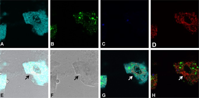 Grazing for 24 h by protozoa on the four-species mixed cultures. FISH based staining and confocal imaging shows the distribution of the different bacterial species in and around the protozoan cells. Applying the fluorescence filter channels, it is observed that X. retroflexus is abundantly present within the food vacuoles (indicated by the arrows) of T. pyriformis (A) . S. rhizophila (B) is detected to a lesser extent whereas M. oxydans (C) and P. amylolyticus (D) cells are not visibly present in the food vacuoles. (E,F) Depict the overlay and bright-field images, respectively. Panels (G,H) were included to phase out the dominating fluorescence signals from X. retroflexus and visualize the other bacterial members in the biofilm consortia around the ciliate.