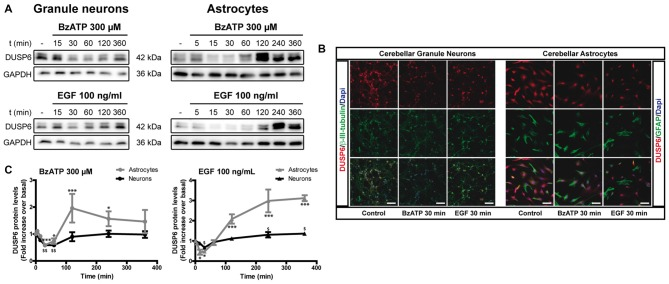 P2X7 and EGF Receptor Stimulation Regulates the Expression of DUSP6 in Cerebellar Granule Neurons and Astrocytes ) for different times and DUSP6 and <t>Glyceraldehyde-3-phosphate</t> dehydrogenase <t>(GAPDH)</t> were detected in the total lysates by immunoblotting. (A) Immunoblots of a representative time-course experiment for each effector. (B) Cells were incubated with or without the effectors, 300 μM BzATP or 100 ng/mL EGF, for 30 min, fixed and the presence of DUSP6 was detected by immunocytochemistry. Representative immunofluorescence images are shown. Scale bars represent 50 μm. (C) The diagrams represent the quantification of the time courses obtained by normalization to the corresponding GAPDH levels. The data are represented as the means ± SEM from three independent experiments performed on different cultures. *** p