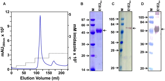 Purification and preliminary characterization of recombinant E1E2 bv . (A) Ni 2+ -NTA affinity chromatographic purification of E1E2 bv . The solid blue curve represents the UV absorbance at 280 nm. The imidazole step gradient is shown by the dashed gray line. (B) SDS–PAGE analysis of the purified material (pooled peak fractions from ' A ') visualized by Coomassie blue staining. (C) Western blot of the purified preparation using mAb 24A12 in conjunction with anti-mouse <t>IgG-HRPO.</t> (D) Protein blot showing the interaction of the purified material with Con A-HRPO. Low molecular weight protein markers (B) or pre-stained protein markers (C,D) were run in lanes marked 'M'; their sizes (kDa) are shown to the left of each panel. The position of E1E2 bv is shown by the arrow on the right side of (B–D) .