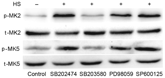 Inhibition of p38 weakens heat stress-induced phosphorylation of MK5 and MK2. F98 cells underwent pretreatment with or without the indicated inhibitors for 30 min prior to exposure to heat stress or control heat treatment. After the cells received further incubation for 12 h at 37°C, antibodies specific for p-MK2, p-MK5, MK2, MK5 were used to assess the protein levels in the cell lysates. HS, heat stress; p-, phosphorylated; t-, total; MK, mitogen-activated protein kinase-activated protein kinase; SB203580, p38 inhibitor; <t>PD98059,</t> ERK inhibitor; SP600125, JNK inhibitor.