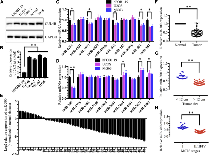 Expression of miR-300 Was Downregulated in Osteosarcoma Cell Lines and in the Majority of Cancerous Tissues from Patients with Osteosarcoma (A and B) Both the CUL4B protein (A) and mRNA (B) levels were upregulated in osteosarcoma cell lines. The hFOB1.19, U2OS, Saos-2, MG63, and HOS cell lines were subjected to immunoblotting and qRT-PCR analyses to determine CUL4B protein and mRNA levels. (C and D) Expression of 20 miRNAs that were predicted to target the 3′ UTR of CUL4B in hFOB1.19, U2OS and MG63 cells. (C) miR-4251, miR-4531, miR-3977, miR-6830, miR-4659a, miR-545, miR-153, miR-4659b, miR-561 and miR-381. (D) miR-300, miR-4776, miR-6885, miR-7159, miR-8060, miR-3691, miR-3664, miR-4451, miR-3671 and miR-4482. (E and F) Expression of miR-300 in osteosarcoma cancerous tissues is shown. Relative expression of miR-300 in osteosarcoma tumors (n = 48) was normalized to corresponding adjacent normal tissues (n = 48). (E) Log2 fold change; (F) absolute fold change. p