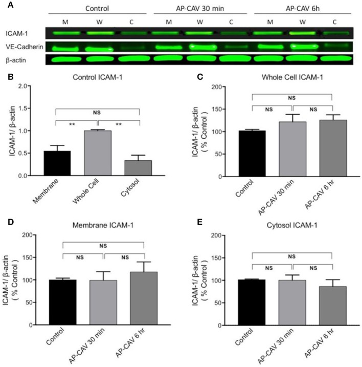 AP-CAV application shows no effect on ICAM-1 expression at whole cell and subcellular fractions of HUVECs. (A) Western blot showed no significant changes in ICAM-1 expression in whole cell (W), membrane (M), and cytosol (C) of HUVECs after AP-CAV (10 μM) treatment for 30 min or 6 h, respectively. VE-Cadherin, a membrane bound protein, that was only evident in the membrane and whole cell validated the cell fractionation procedure. (B) Summary of ICAM-1 expression in whole cell and subcellular fractions of HUVECs under control conditions. (C–E) Result summary showing no significant changes of ICAM-1 expression after AP-CAV (10 μM) treatment for 30 min or 6 h in whole cell and subcellular locations. n = 3 per group. ** P