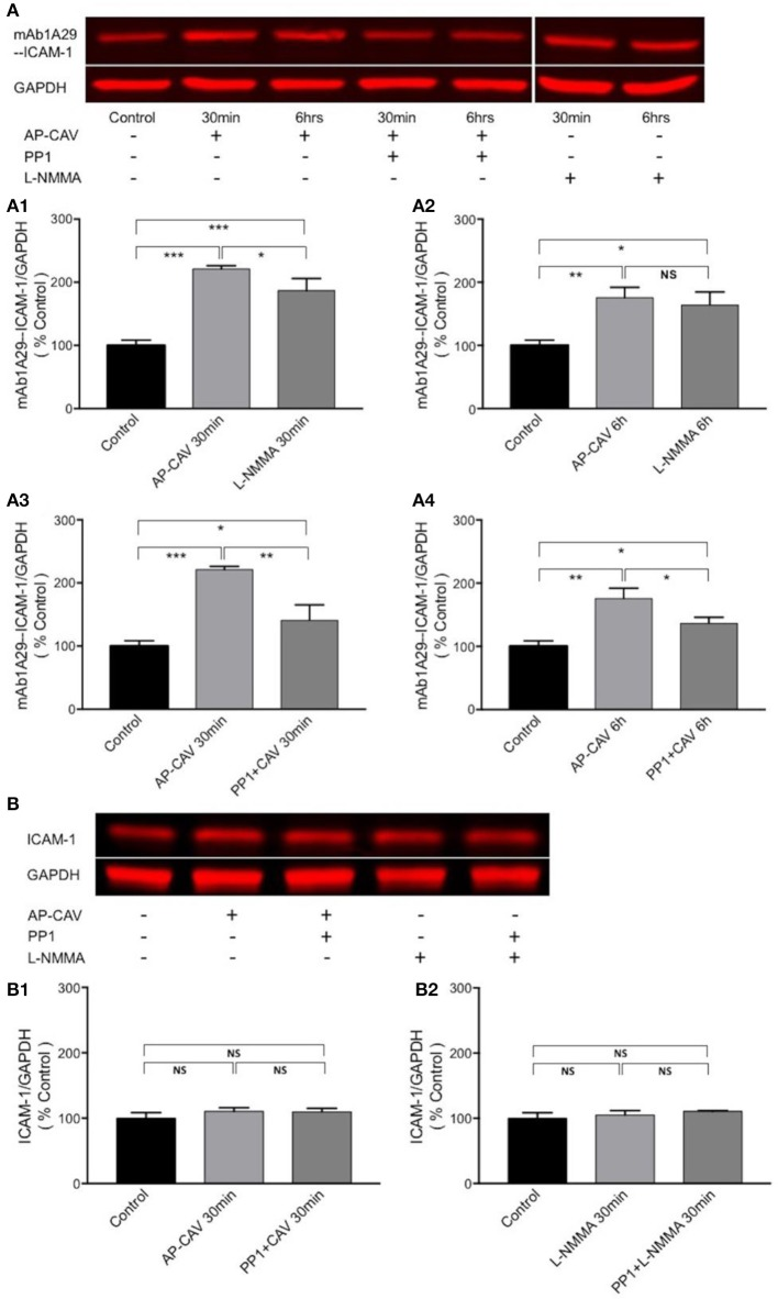 Immuno-precipitation assay conducted in non-denatured proteins showing that reduction of basal NO increases the adhesiveness of EC constitutive ICAM-1 via Src-dependent pathway. (A) Reduced basal NO increased EC ICAM-1 binding to its inhibitory antibody. mAb1A29. The application of AP-CAV (10 μM) or L-NMMA (100 μM) for 30 min (A1) or 6 h (A2) significantly increased ICAM-1 binding to its blocking antibody. Pre-treatment of ECs with Src kinase inhibitor, PP1 (10 μM), significantly attenuated the effect of AP-CAV, indicating the involvement of Src signaling (A3,A4) . (B) In contrast to the results shown in A, reduction of basal NO did not change ICAM-1 binding to antibody against total ICAM-1, indicating no changes in ICAM-1 expression. AP-CAV (B1) or L-NMMA (B2) treatment for 30 min with or without PP1 did not alter ICAM-1 binding to antibody against total ICAM-1. n = 3 for all IP and western blot assays. * P