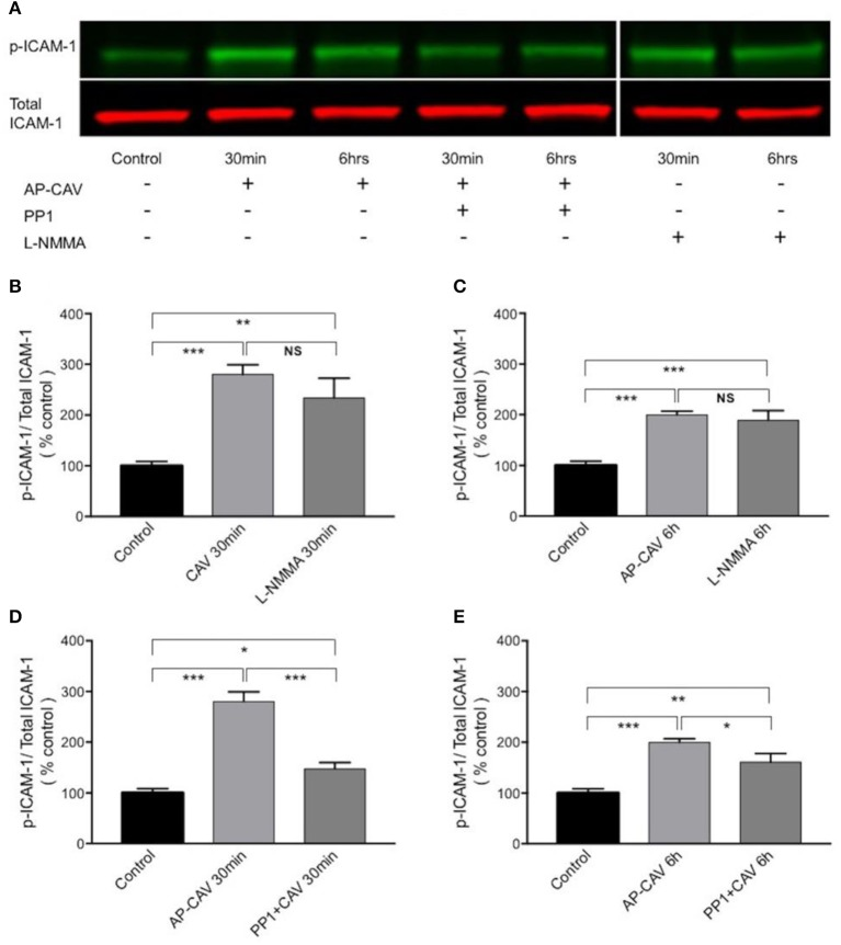 The increased adhesiveness of EC ICAM-1 induced by basal NO reduction is associated with Src signaling-mediated phosphorylation of constitutive ICAM-1. (A) Western blot showing phosphorylated ICAM-1 (p-ICAM-1) relative to total ICAM-1 significantly increased after HUVECs were exposed to AP-CAV (10 μM) or L-NMMA (100 μM) for 30 min (B) , or 6 h (C) . Pre-exposure cells to 10 μM PP1 significantly attenuated the effect (D,E) . n = 3 for western blot. * P
