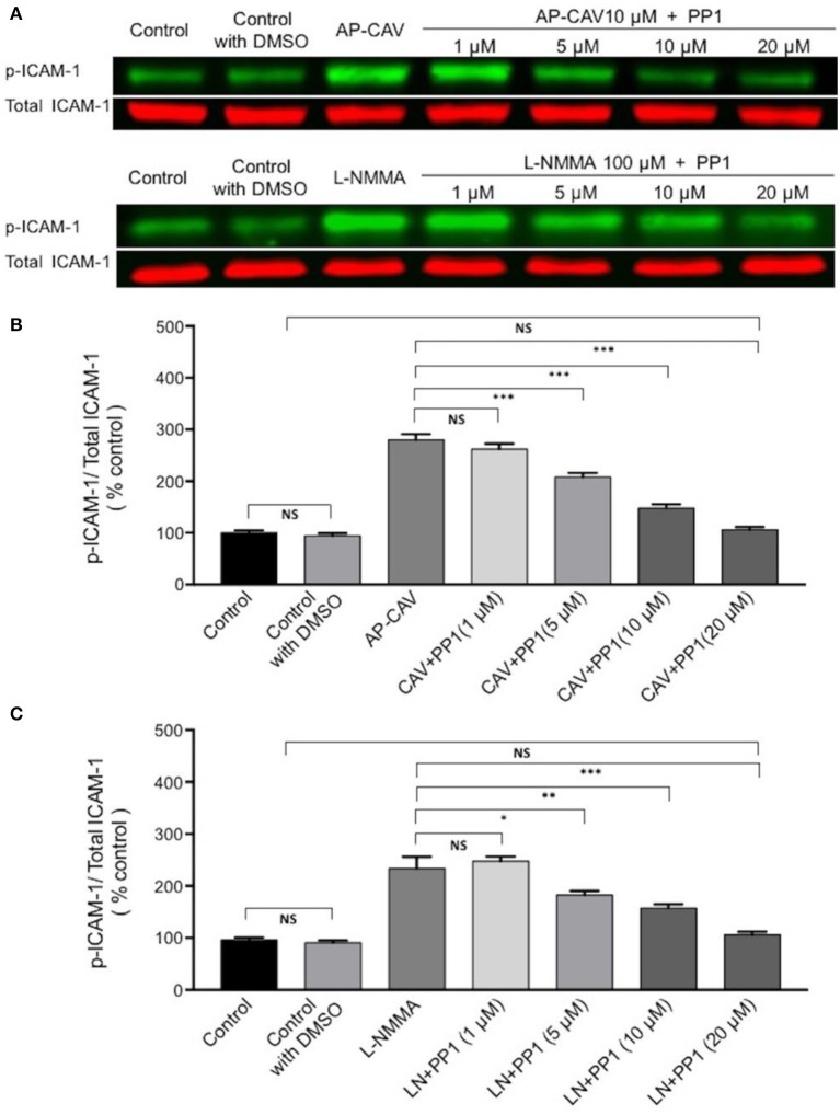The role of Src signaling in NO-dependent phosphorylation of constitutive ICAM-1. (A) Western blot shows dose-dependent inhibition of phosphorylated ICAM-1 (p-ICAM-1) relative to total ICAM-1 by Src kinase inhibitor, PP1, after ECs were exposed to AP-CAV or L-NMMA. (B) Application of AP-CAV (10 μM) for 30 min significantly increased p-ICAM-1. PP1 at 5, 10, or 20 μM showed graded inhibition of increased p-ICAM-1. (C) L-NMMA (100 μM)-induced increases in p-ICAM-1 was inhibited by PP1 in a manner similar to that of AP-CAV. n = 3 for all experiments. * P
