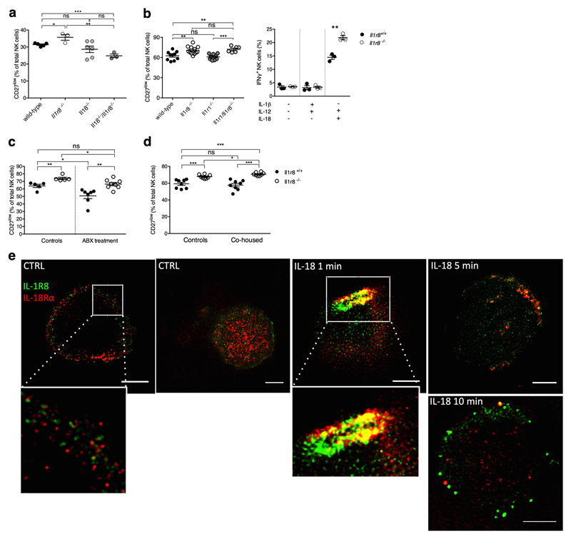 Mechanism of IL-1R8-dependent regulation of NK cells (a) Splenic CD27 low NK cell frequency in wild type, Il1r8 -/- , Il18 -/- , and Il18 -/- /Il1r8 -/- mice. (b) Peripheral CD27 low NK cell frequency in wild-type , Il1r8 -/- , Il1r1 -/- and Il1r8 -/- Il1r1 -/- mice (left) and IFNγ production by splenic NK cells after IL-12 and IL-1β or IL-18 stimulation (right). (c, d) Splenic CD27 low NK cell frequency in Il1r8 +/+ and Il1r8 -/- mice upon commensal flora depletion (c) and breeding in co-housing conditions (d). (e) STED microscopy of human NK cells stimulated with IL-18. Magnification bar: 2μm. (a-d) *p