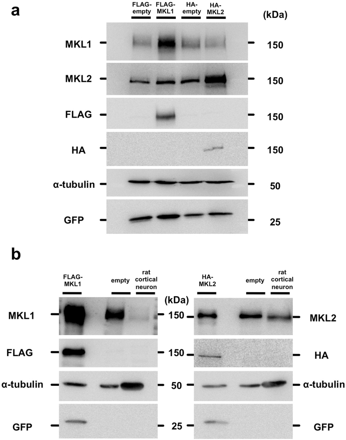 Specific detection of MKL1 and MKL2 by anti-MKL1 and anti-MKL2 antibodies. ( a ) pEGFP-C1 vector and pFLAG-CMV2 vector (FLAG-empty) or pFLAG-CMV2-MKL1 vector (FLAG-MKL1), pCMV-HA vector (HA-empty) or pCMV-HA-MKL2 vector (HA-MKL2) were co-transfected into NIH3T3 cells. Cell lysates were lysed 24 hours after transfection. Anti-MKL1 (MKL1) and anti-MKL2 (MKL2) antibody were used for detection of exogenous and endogenous MKL1 and MKL2, respectively. Anti-FLAG and anti-HA antibodies were used for detection of exogenous MKL1 and MKL2, respectively. Anti-α-tubulin and anti-GFP antibodies were used as internal (loading) controls. ( b ) Detection of endogenous MKL1 and MKL2 in cortical neurons. Left-most lanes: cell lysates from NIH3T3 cells overexpressing FLAG-MKL1 and HA-MKL2. Lane 2: cell lysates from untransfected NIH3T3 cells. Lane 3: cell lysates from rat cortical neurons at 7 days in culture. Full-length blots are presented in Supplementary Figure S5 .