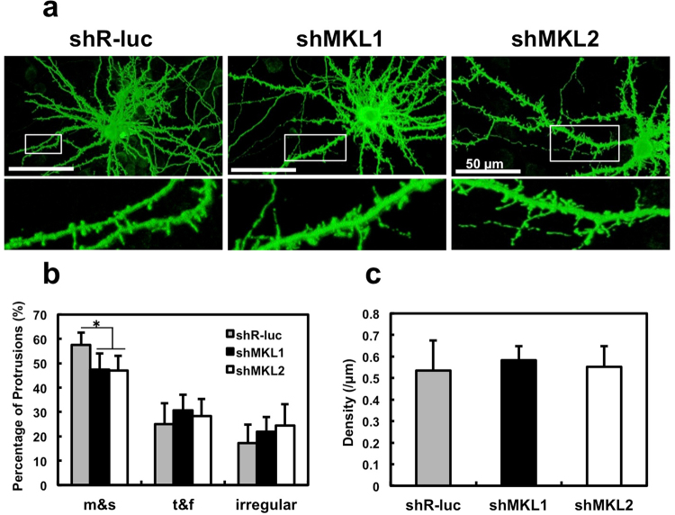 Effect of MKL1 or MKL2 knock-down on dendritic spine morphology and density in cortical neurons. ( a ) Spine morphology of cortical neurons transfected with pEGFP-C1 (1 μg/well) and shR-luc, sh MKL1 , or sh MKL2 (1 μg/well). Transfection was performed at 16 days in culture. Neurons (21 days in culture) were immunostained using anti-GFP antibody. ( b , c ) Spine morphology (m and s, mushroom or stubby; t and f, thin or filopodia; irregular) and spine density. Graphs show mean ± S.D. from seven independent experiments. The statistical significance of differences (vs. shR-luc) was analysed by ANOVA with the Tukey–Kramer test. * p