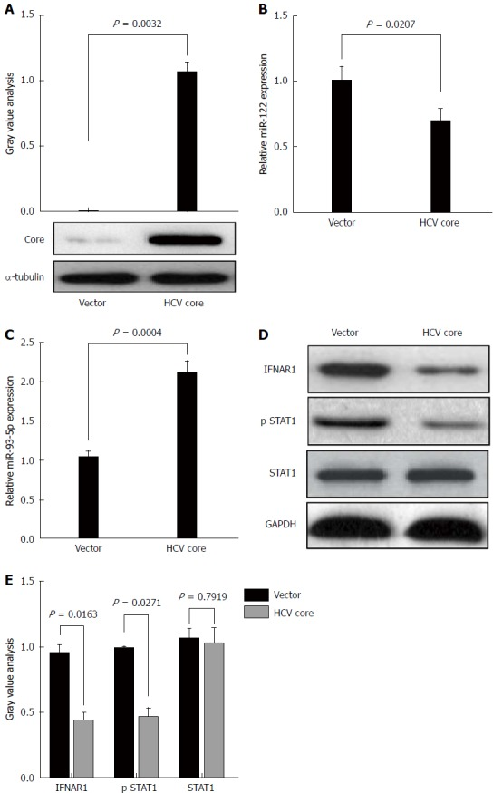 Hepatitis C virus-1b core protein increases miR-93-5p expression and inactivates the interferon signaling pathway. A: HCV core protein is enforcedly expressed in Huh7 cells using pcDNA3.1 (+) vector. Western blot shows HCV core protein expression. This experiment was repeated twice; B: Bar shows miR-122 expression in Huh7 cells transfected with pcDNA 3.1 (+) empty vector or HCV core-pcDNA3.1 (+) vector. U6 was used as an internal reference. This experiment was repeated three times. C: Bar shows miR-93-5p expression in Huh7 cells transfected with pcDNA 3.1 (+) empty vector or HCV core-pcDNA3.1 (+) vector. U6 was used as an internal reference. This experiment was repeated three times. D and E: Western blot shows the protein expression of IFNAR1 and STAT1, as well as the phosphorylation level of STAT1 in Huh7 cells which were transfected with pcDNA 3.1 (+) empty vector or HCV core-pcDNA3.1 (+) vector. This experiment was repeated twice. HCV: Hepatitis C virus; IFNAR1: Interferon receptor 1.