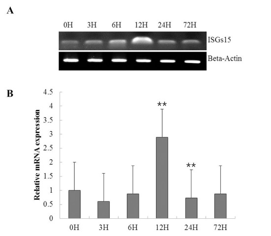 Temporal expression analysis of ISG15 following rock bream iridovirus (RSIV) infection in whole fish. (A) Reverse transcription (RT)-PCR was performed with 1 μg of total RNA using ISG15-qRT-1F and 1R primers. Beta-actin was included in all reactions to verify equal complementary DNA concentrations in the PCR reaction and on the gel. (B) qRT-PCR analysis of ISG15 in rock bream following RSIV infection at 0, 3, 6, 12, 24, and 72 h. Each experiment was performed in triplicate and the expression levels of beta actin and ISG15 at 0 h were set as 1. Asterisks indicate statistically significant differences ( * p