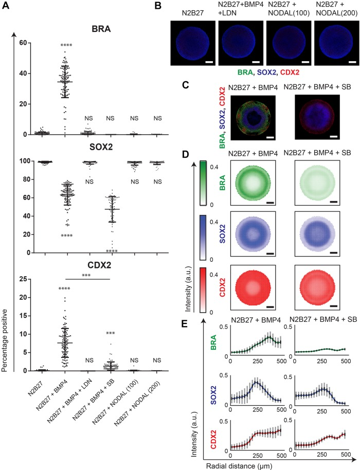 Nodal signaling is required for primitive streak specification, but does not induce differentiation and fate patterning in geometrically confined hPSC colonies. (A) Percentage of cells expressing BRA, SOX2 and CDX2 in N2B27 with 100 ng/ml of NODAL ( n =73), N2B27+BMP ( n =100), N2B27+BMP+LDN ( n =101), N2B27+BMP+SB ( n =67), N2B27+100 ng/ml Nodal ( n =68) or N2B27+200 ng/ml Nodal ( n =65). The experiment was performed twice. Data are mean±s.d. and individual data points indicate identified colonies. **** P
