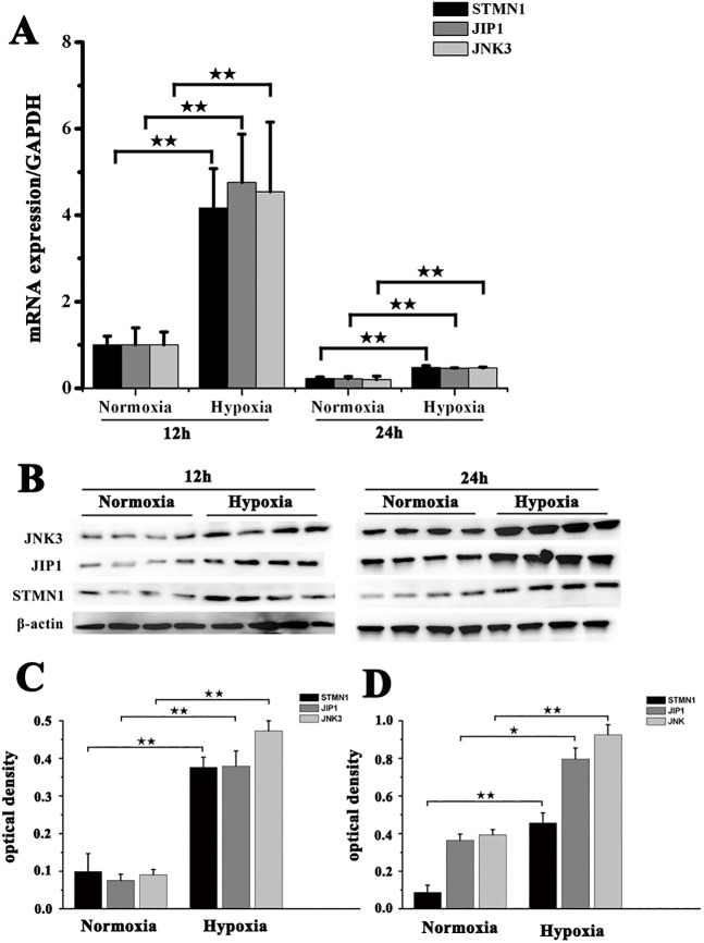 Expression of STMN1, JIP1 and JNK3 in muscle fibroblasts from NMRs before and after exposure to hypoxia. (A) Real-time PCR analysis of STMN1, JIP1 and JNK3 mRNA expression in muscle fibroblasts before and after exposure to hypoxia (5% O 2 ) for 12 h or 24 h. (B) Western blot detection of STMN1, JIP1 and JNK3 protein expression in fibroblasts before and after exposure to hypoxia (5% O 2 ) for 12 h or 24 h. β-actin was used as an internal loading control. (C,D) Band density analysis of STMN1, JIP1 and JNK3 protein expression in fibroblasts before and after exposure to hypoxia (5% O 2 ) for (C) 12 h or (D) 24 h. Data represent the mean±s.e.m. of five independent experiments. ★ P