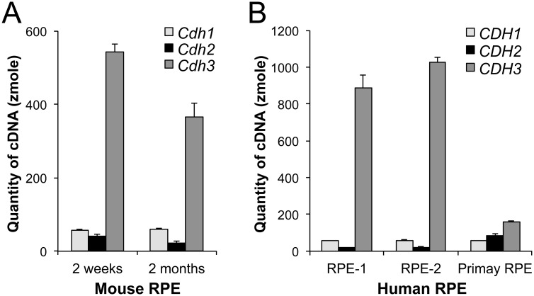 P-cadherin is the dominant cadherin in mouse and human RPE in situ . (A) Absolute quantification of cDNA to assess the mRNA quantity of Cdh1 , Cdh2 , and Cdh3 in mouse RPE in situ . Total RNA was prepared from the RPE of 2 week-old and 2 month-old mice, and RT-qPCR was performed, along with gel-purified PCR products to create standard curves ranging from 1 attomole (amole) to 0.1 zeptomole (zmole). Based on Ct values of the standard curves, the quantity of cDNA for each gene was calculated for 200 ng total RNA used for cDNA synthesis. Three biological replicates were analyzed in triplicate for each sample. The values represent the means and SEM (bar). (B) Absolute quantification of cDNA to assess the mRNA quantity of CDH1 , CDH2 , and CDH3 in human RPE. Total RNA was prepared from the RPE of two donor eyes (RPE-1 and RPE-2) and human RPE primary cells (M1), and RT-qPCR was performed in triplicate in the same manner as described in A, along with gel-purified PCR products to create standard curves. Based on Ct values, the quantity of cDNA for each gene was calculated for 200 ng total RNA. The values represent the means and SEM (bar).